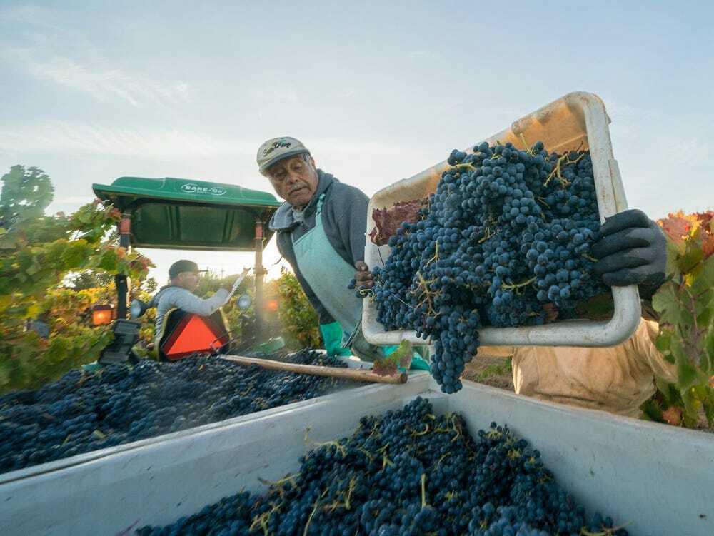 Business Insider Grape Harvest