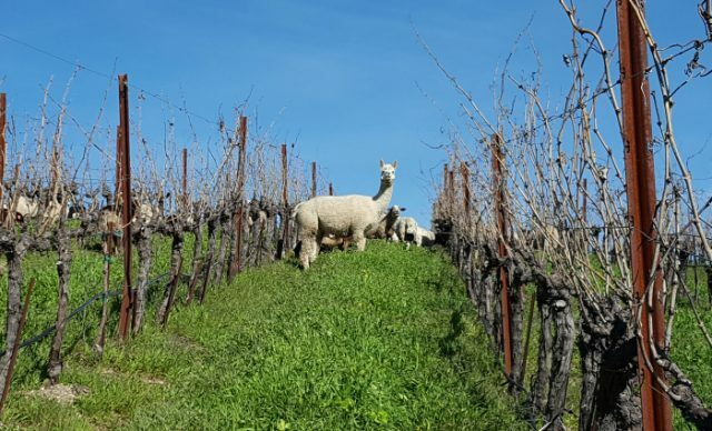 Sheep at tablas creek 640x388