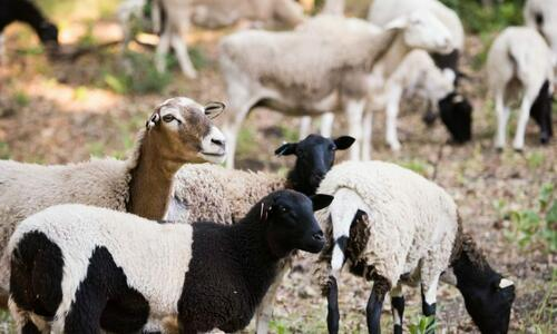 Wine Enthusiast Sheep Grazing Brittany App