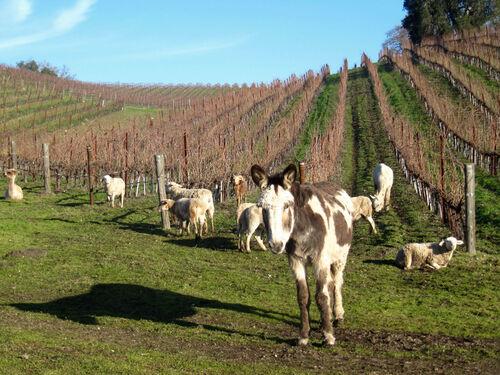 Tablas Creek Animal Herd With Dottie The Donkey