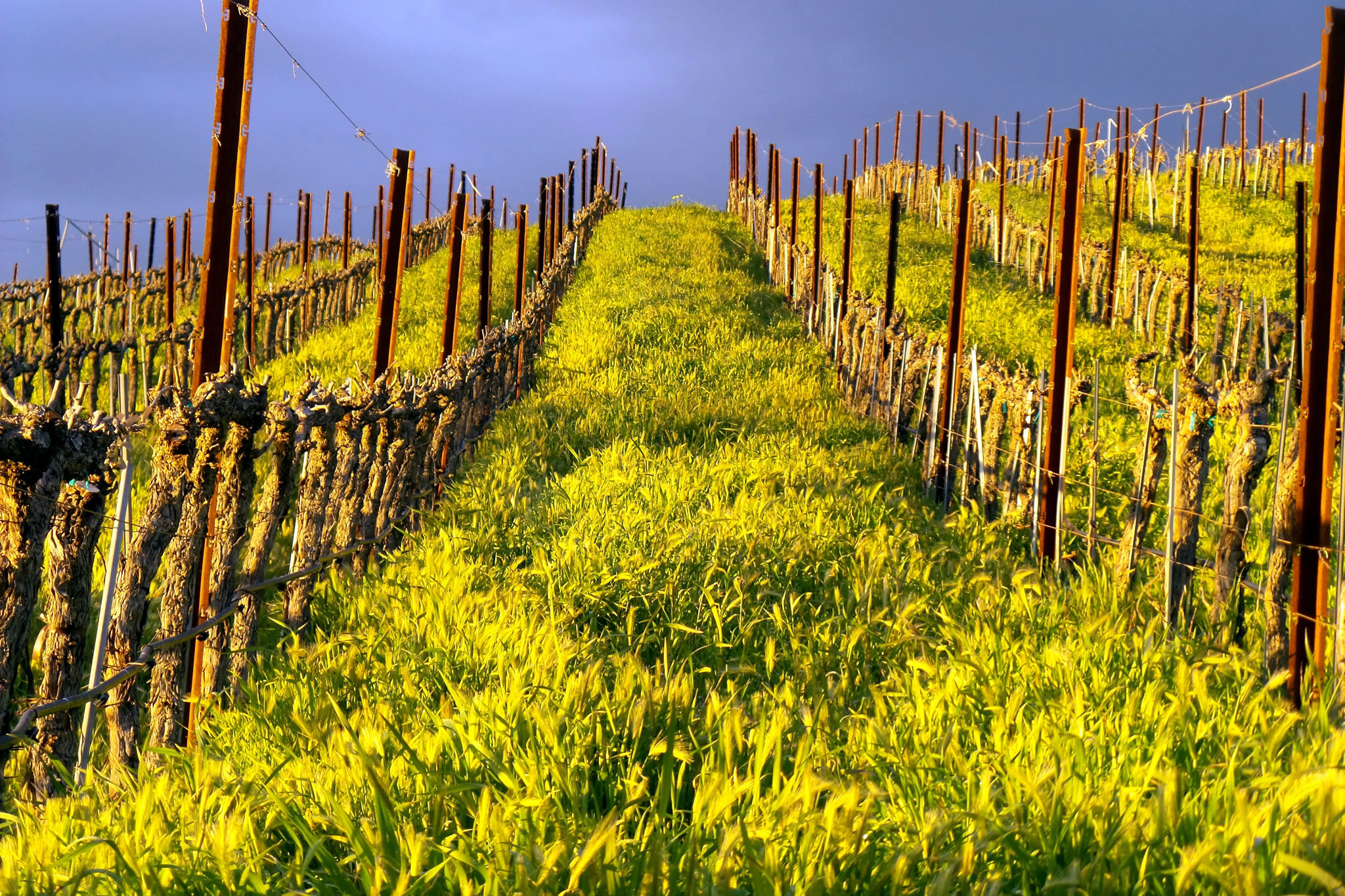 Tablas Creek Cover Crop March At Sunset