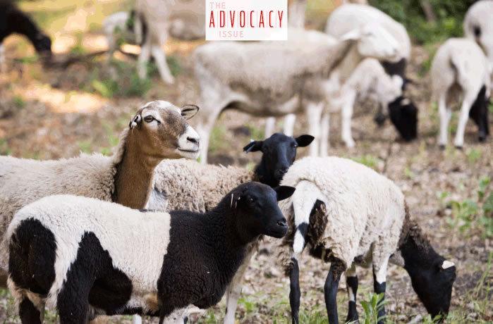 Wine Enthusiast Regenerative Ag Article Sheep At Tablas Creek